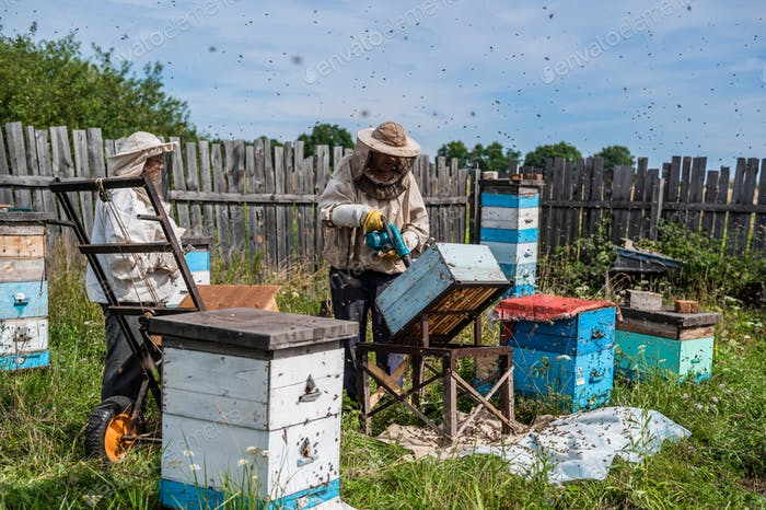 A beekeeper is using a blower, blowing air inside the hive full of working bumble bees to take out