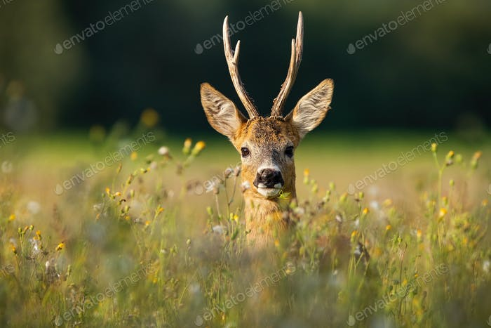 Adult roe deer buck with long antlers hidden in grass with wildflowers looking