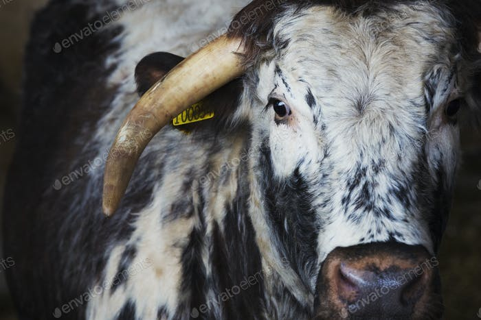 Livestock, a longhorn cow, close up of the head and one large horn.