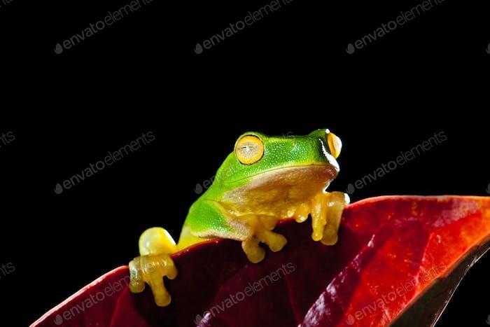 Kleiner grüner Baumfrosch sitzt auf rotem Blatt