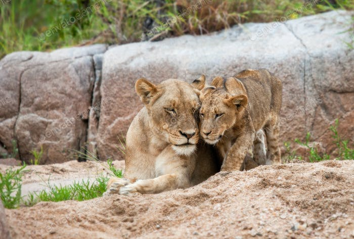 A lion cub, Panthera leo, stands beside its mother who lies on the sand, eyes closed, touch heads,