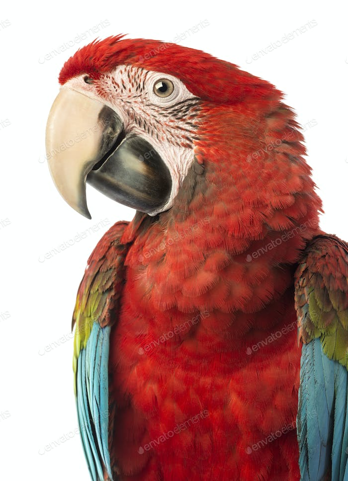 Close-up of a Green-winged Macaw, Ara chloropterus, 1 year old, in front of white background