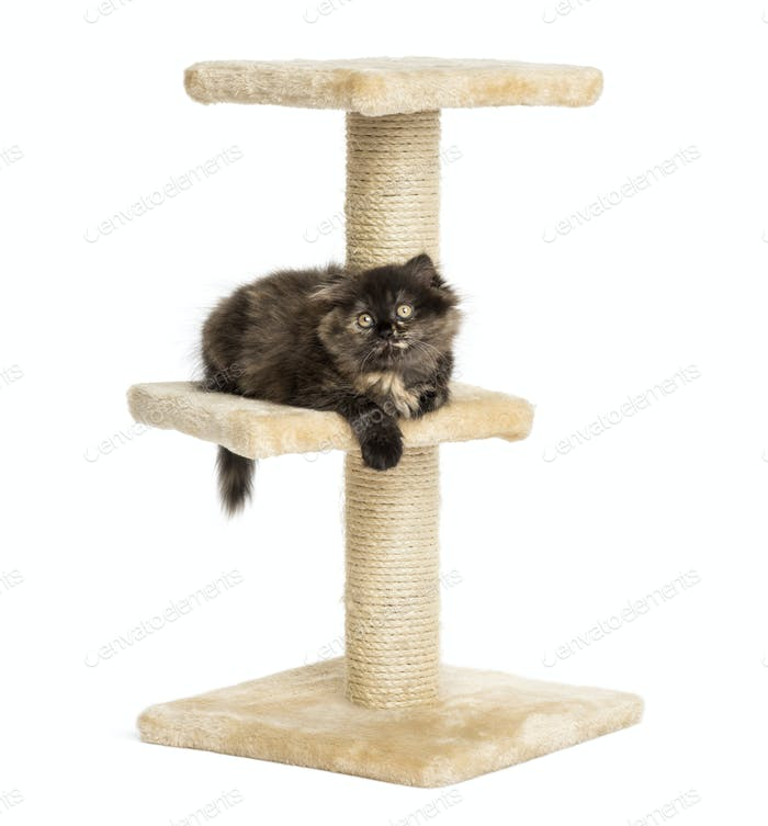 Highland fold kitten lying on a cat tree, isolated on white