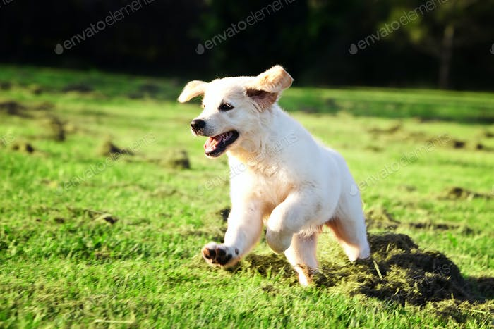 Golden retriever puppy jumping in the grass