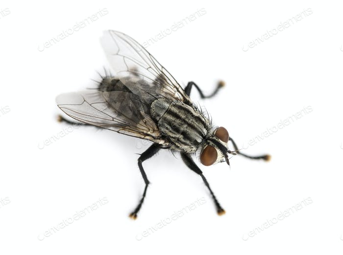 Flesh fly viewed from up high, Sarcophagidae, isolated on white