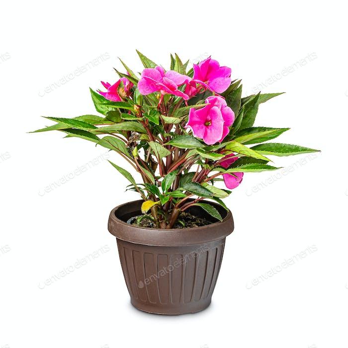 Beautiful Impatiens flower