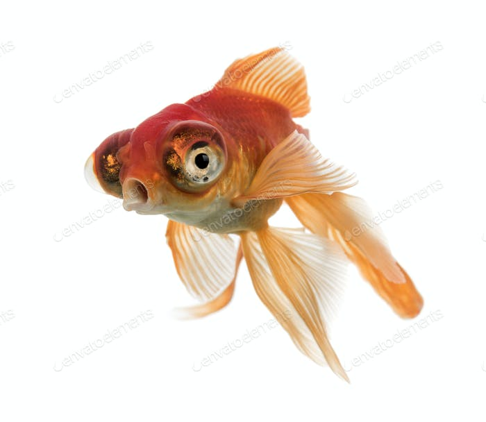 Goldfish islolated on white