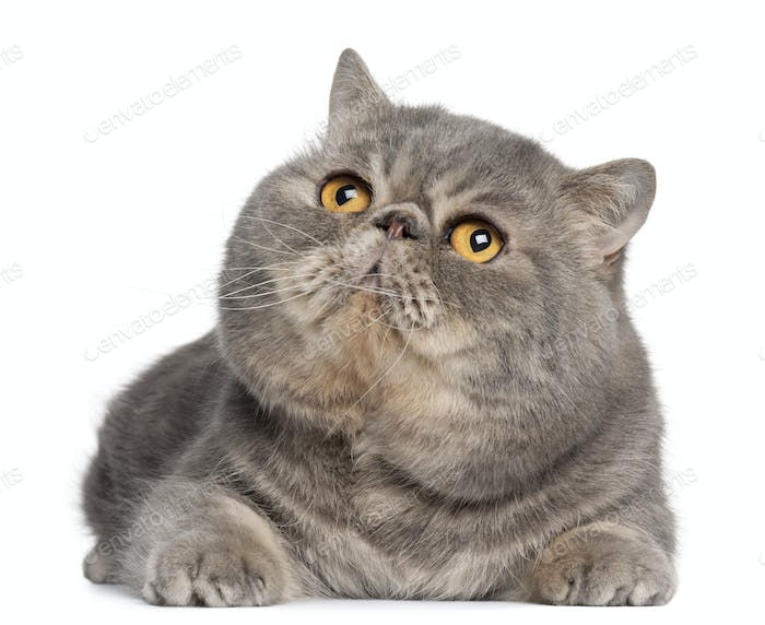 Exotic Shorthair cat, 3 years old, lying in front of white background
