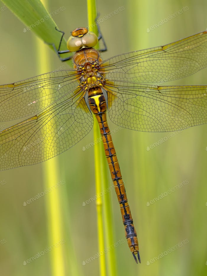 Close up of Green eyed hawker on reed