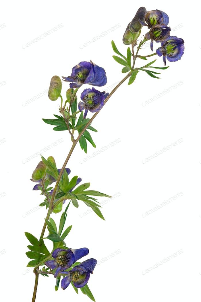 Heilpflanze: Aconit