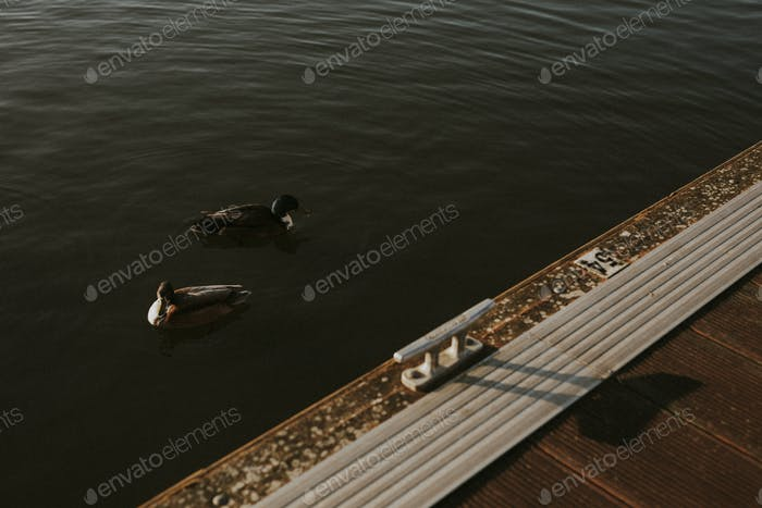Ducks swimming by a quiet harbourside in Bristol