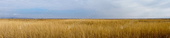 Golden wild wheat field with blue sky background, panoramic view