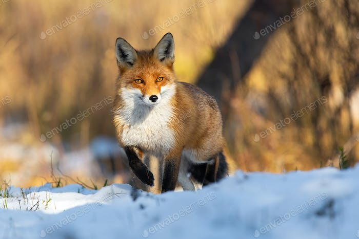 Red fox standing on snowy meadow in wintertime nature