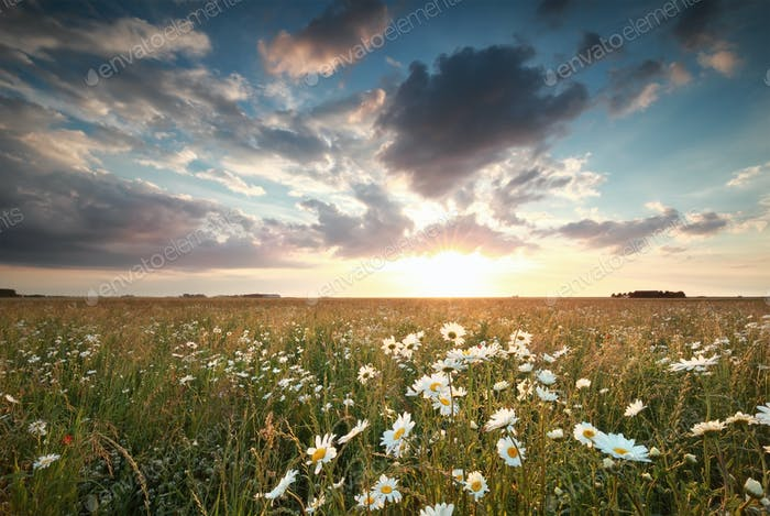 sundown over chamomile field