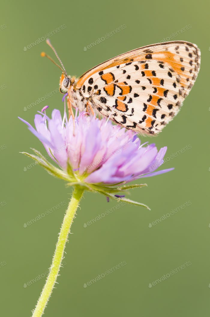 Fritillary Butterfly on a Purple Flower