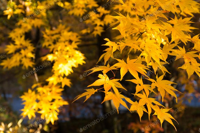 Maple leave in yellow