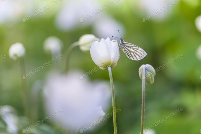Butterfly on anemone flower. Beautiful summer story