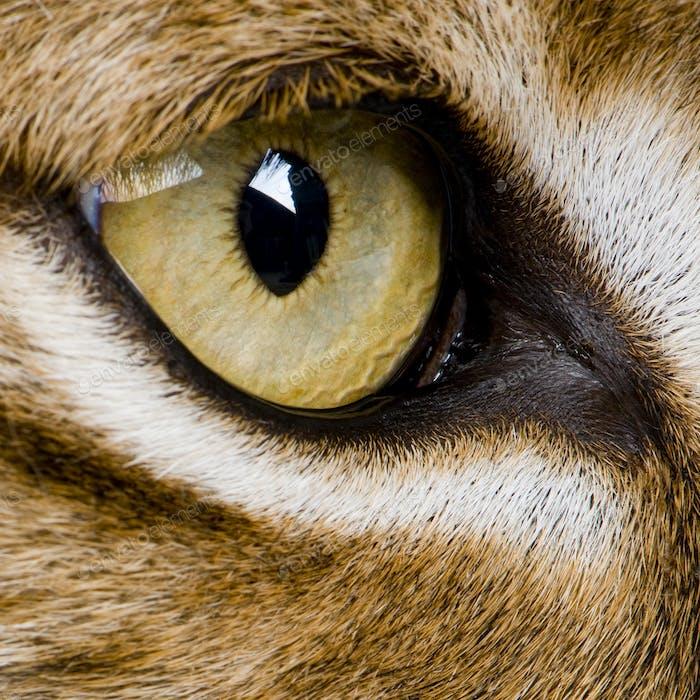 close-up on a feline' eye - Eurasian Lynx - Lynx lynx (5 years o