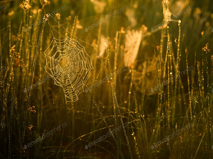 Spider web on morning meadow
