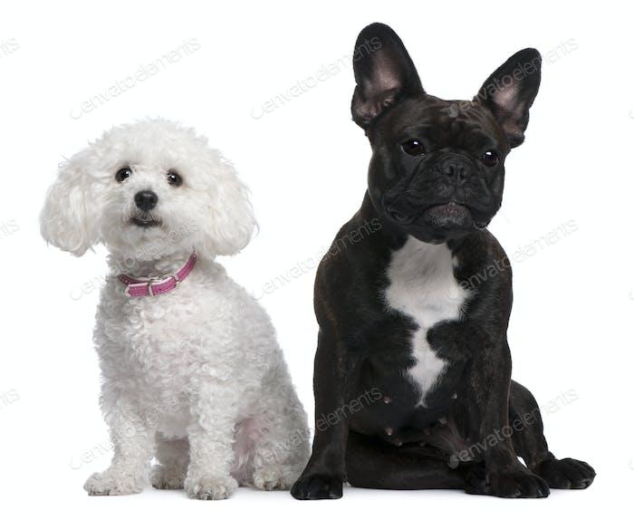 Französische Bulldogge, 18 Monate alt und Bichon Frisé, 3 Jahre alt, sitzend vor weißem Hintergrund