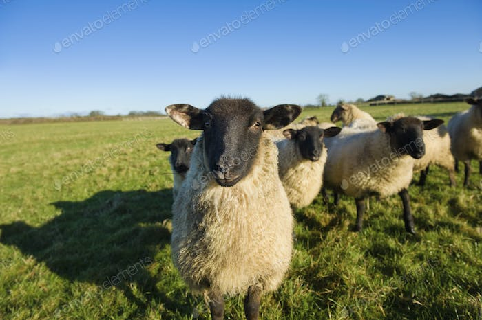 A small flock of sheep in a field.