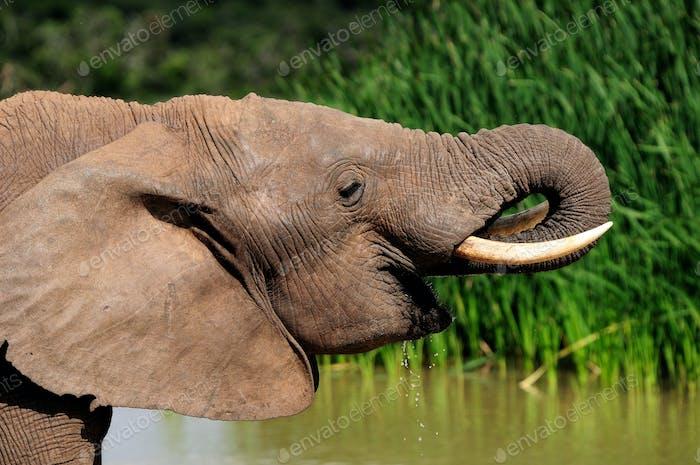 Elephant drinking water at Harpoor Dam