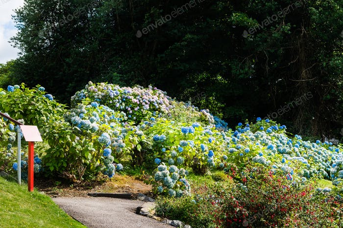 Hydrangea Flowers in the Garden
