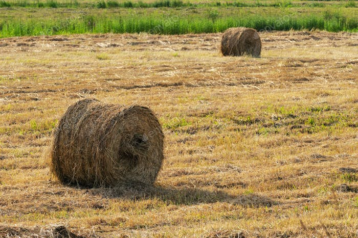 Yellow Rolls of Hay on Mowed Field on Sunny Day, Dry Weather in Which Agricultural Work is Good
