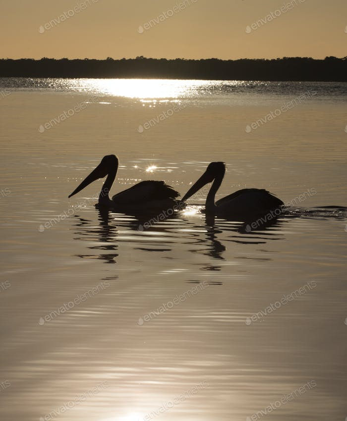 zwei Pelikane