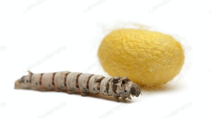 Silkworm larvae and cocoon, Bombyx mori, against white background