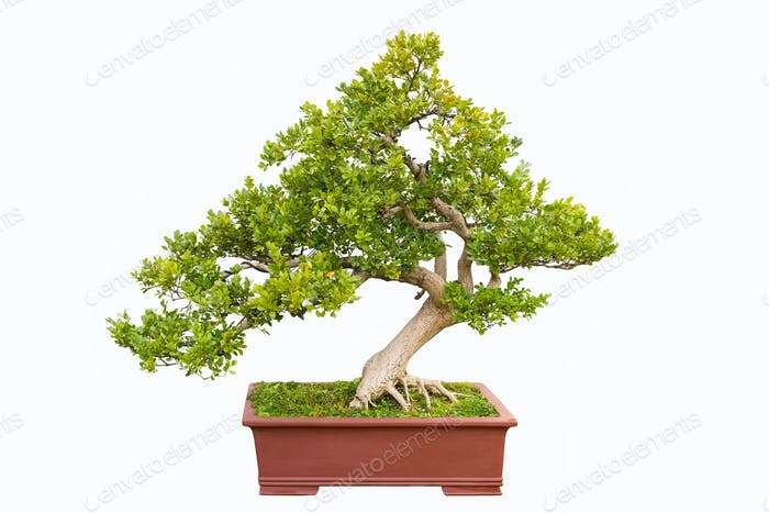 green bonsai tree of chinese littleleaf box