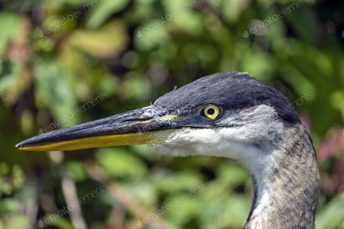 Great Blue Heron detailed head close up
