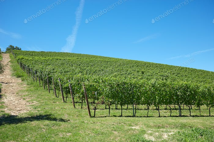 Vineyard hill in a sunny day, blue sky