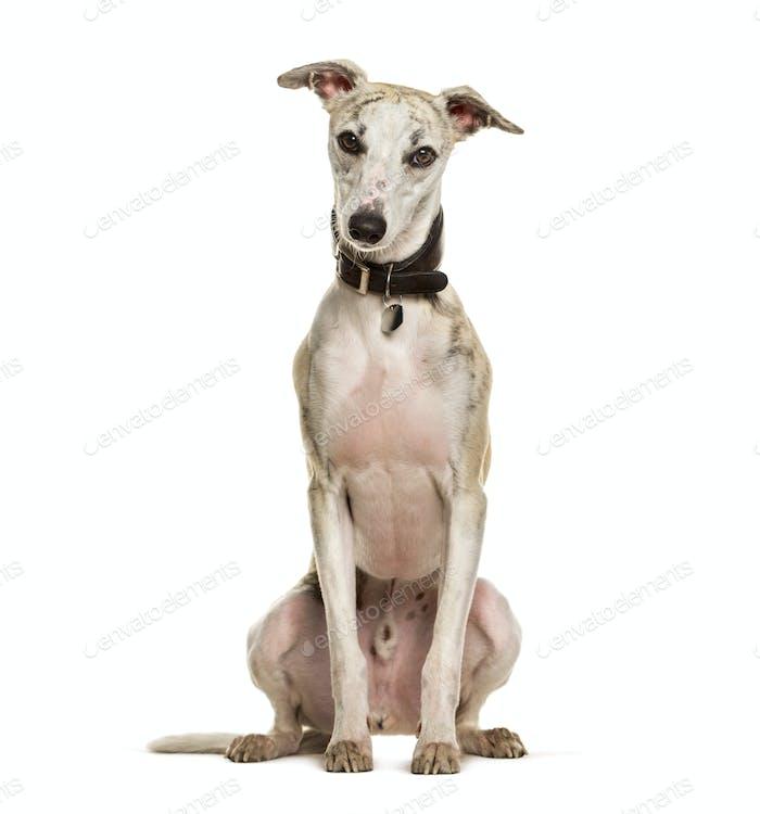 Sighthound dog sitting against white background