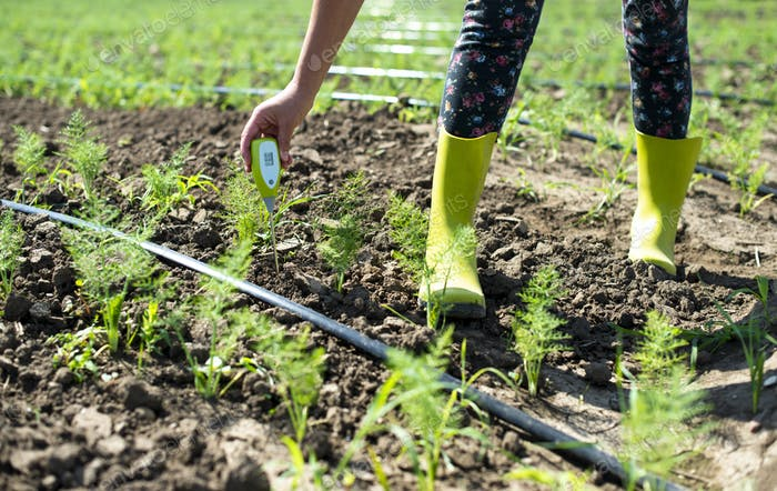 Fennel plantation. Measure soil contents with digital device
