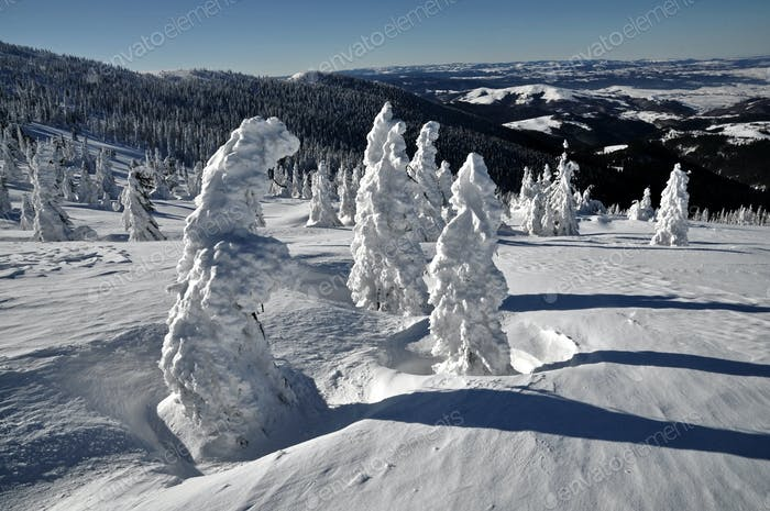 Snow covered spruce trees in the mountains