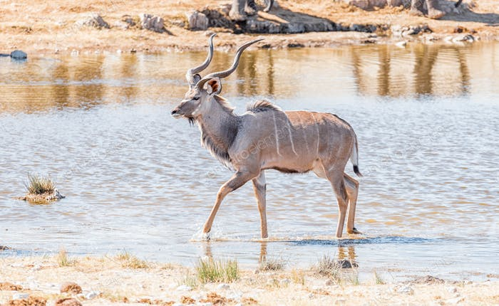 Greater kudu bull, Tragelaphus strepsiceros, walking in a waterhole