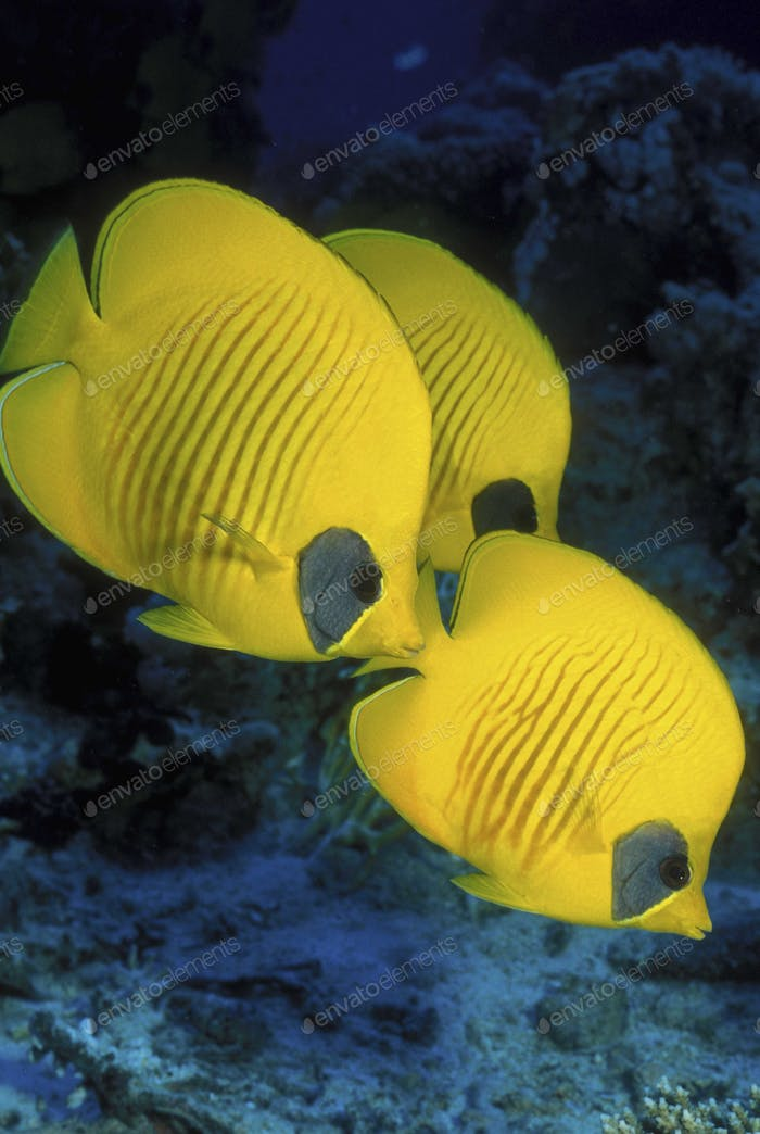 Trio of Masked butterflyfish, bright yellow fish underwater, above the seabed.