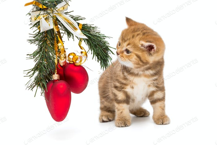 Small British kitten and Christmas decorations