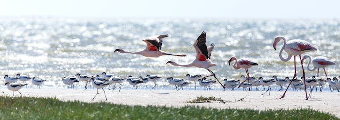 Flamingo Flying - Namibia