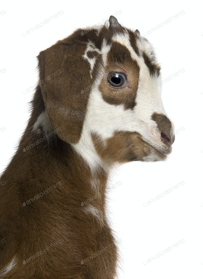 Close-up headshot Rove goat kid, 3 weeks old, in front of white background