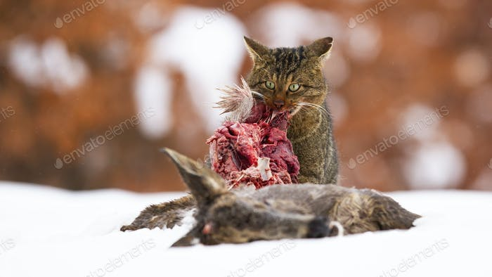 Hungry european wildcat feeding on snow in winter