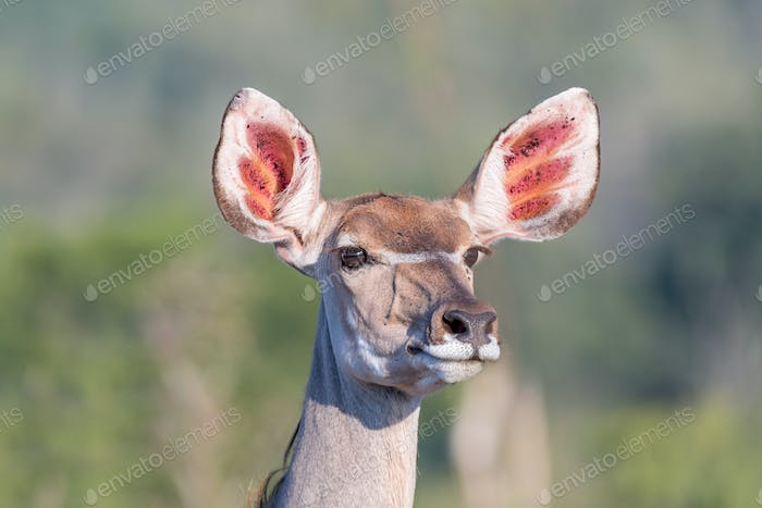 Greater kudu cow looking forward with pointed ears