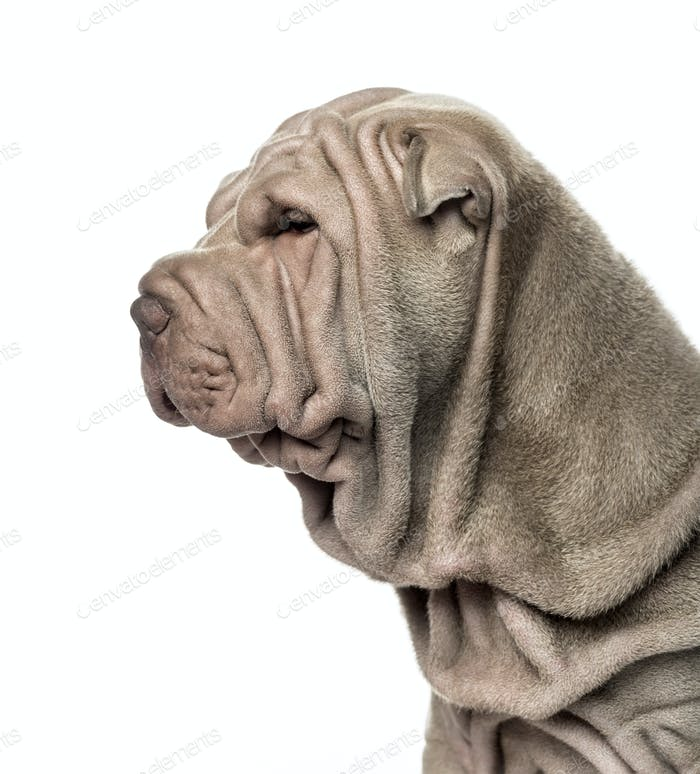 Close-up and side view of a Shar Pei puppy, 10 weeks old, isolated on white