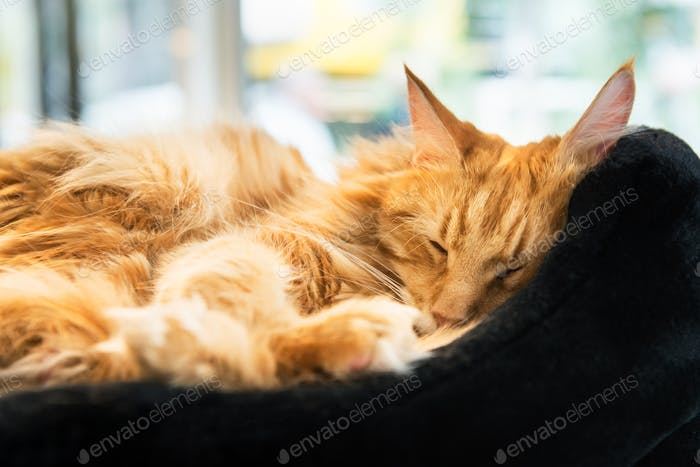 Гигантский имбирь мейн-кун кот