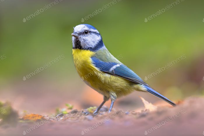 Eurasian blue tit walking on forest floor