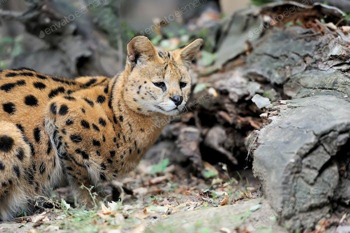 Serval Katze (Felis serval)