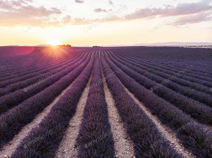 tranquil scene with beautiful lavender field at sunset, provence, france