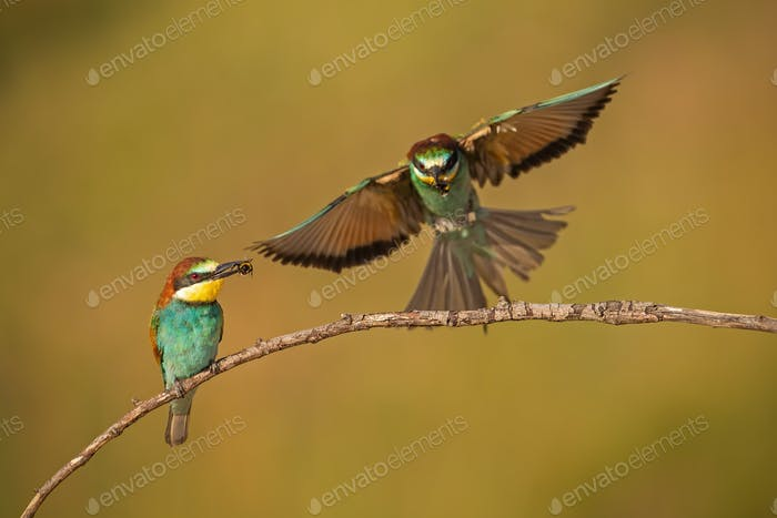 Pair of european bee-eaters, merops apiaster with a catch