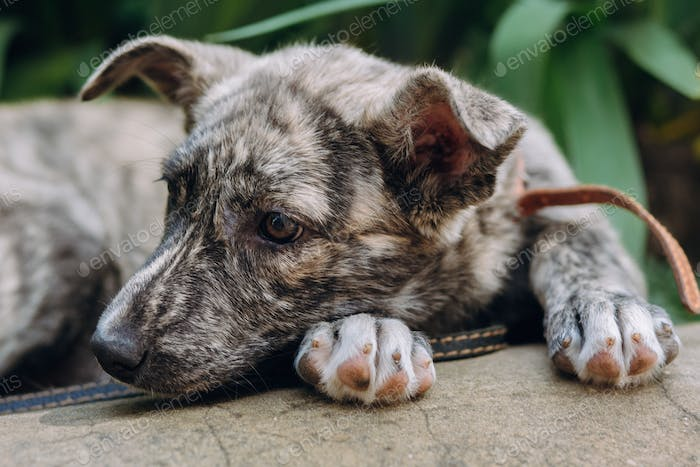 cute little grey puppy with collar sitting in grass